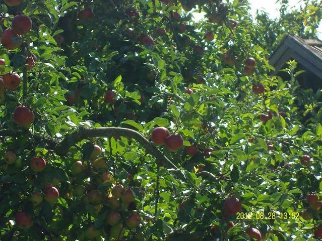 Großes Apfelfest des OGV